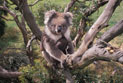 Koala, also known as Phascolarctos cinereus, carrying a young koala, in a eucalyptus tree.