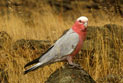 Galah perched on a rock surrounded by grasses.