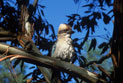 Kookaburra sitting on the branch of a tree in the bush.